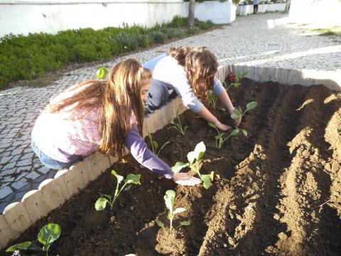 O cultivo das couves para o caldo verde