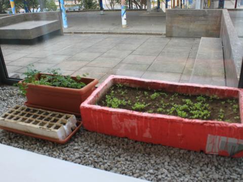 Olha! As sementinhas germinaram e já têm folhinhas!