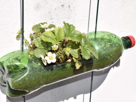 Pelo número de flores que apresenta, este morangueiro, promete dar muitos frutos!