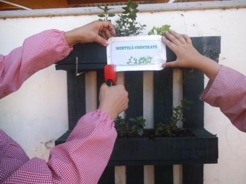 Identificação da plantação - Erva Aromática - Hortelã Chocolate