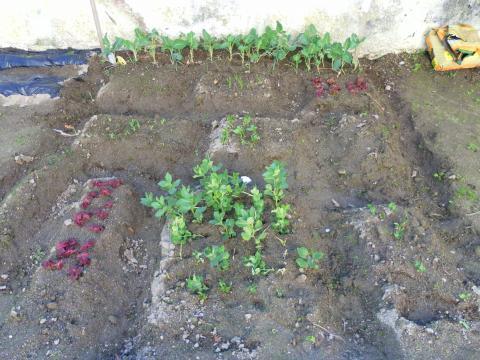 A alface, as favas e algumas ervilhas já se conseguem ver.