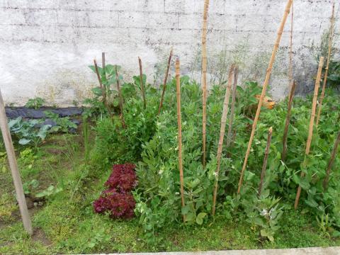 As ervilhas e as favas estão a crescer.