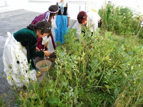 A colheita das favas.