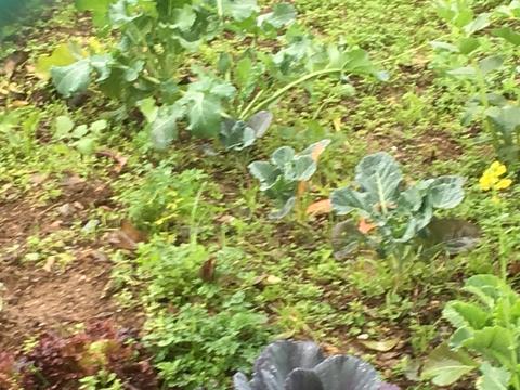 A Horta em Janeiro - Couves, salsa e cebolinho