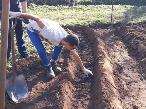 Preparação do solo para sementeira de ervilha de grão – composto retirado das pilhas de compostagem.
