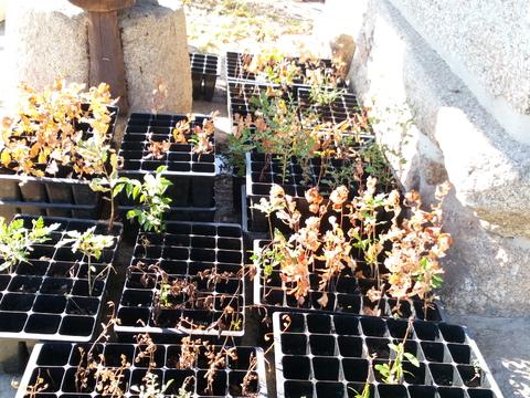 Berçário Júlio_Árvores autóctones cuja parte aérea ficou seca devido ao calor intenso