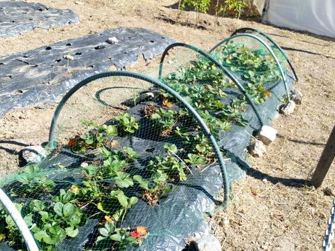 Morangueiros_Plantação de morangos realizada em plástico