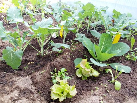 Brócolos, couve flor - Plantações de Inverno na estufa