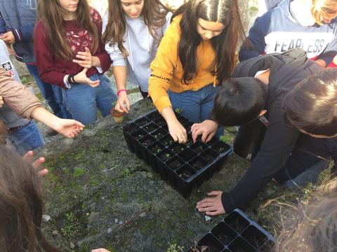 Berçário - Reforço da sementeira no berçário, sementeira de pilriteiros