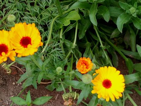 Visitantes da horta: após vários esforços para plantar várias espécies atrativas para os bons insetos, são cada vez mais frequentes e fotogénicos!
