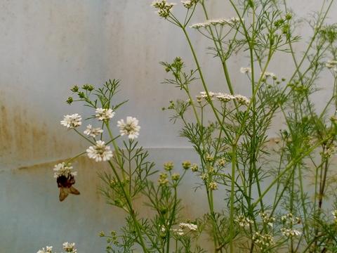 A primavera chegou: belas calêndulas em flor, cultivadas para um projeto de ciência para os alunos de 12º ano.