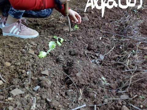 Dispor Alfaces. Os alunos com a ajuda de sacho plantam as alfaces..