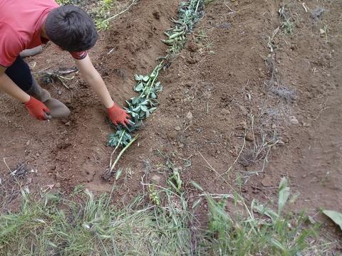 Enchendo os regos com as cascas das favas