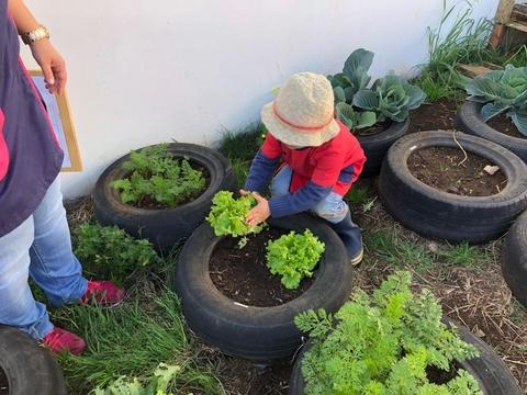 Colher as alfaces que foram plantadas
