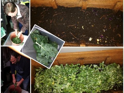 Alimentação do vermicompostor: uso das folhas velhas das couves tronchas, dos brócolos e das couves flores para produzir fertilizante orgânico através de minhocas.