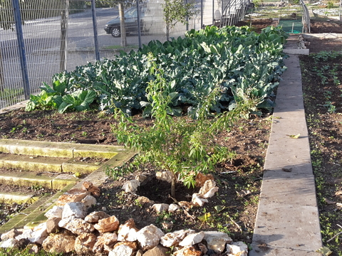 Perspetiva da horta Biológica: pode ser observar plantações de couves-tronchas, Couve flor, Brócolos, Favas. Também é visível um arbusto Lúcia-Lima.