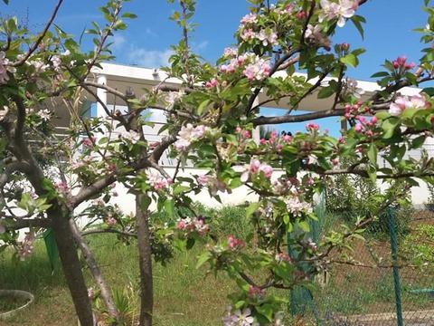 macieira florida